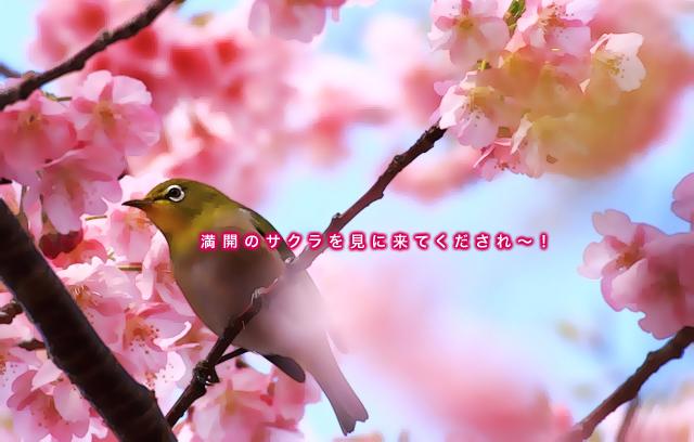 3.23sakura&meji.jpg
